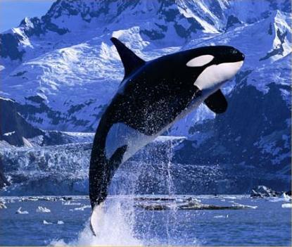 killer whale wallpaper. killer_whale-17161.jpg, 33K
